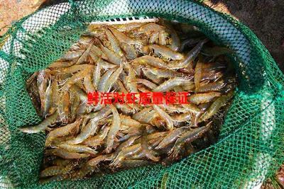 上海宝山区南美对虾 人工殖养 4-6钱