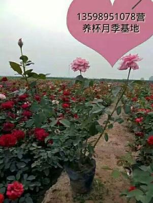 河南省许昌市鄢陵县红帽月季
