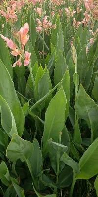 浙江省杭州市萧山区大花美人蕉 20cm以上 2.5~3米