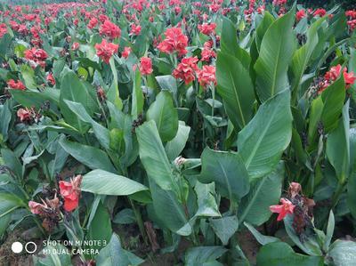 山东省菏泽市牡丹区大花美人蕉 2cm以下 0.5米以下