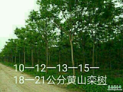 河南省许昌市鄢陵县栾树