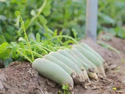 天津西青区水果萝卜 1.5~2斤