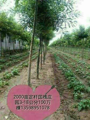河南省许昌市鄢陵县国槐实生苗