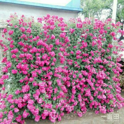 辽宁省鞍山市海城市多苞蔷薇