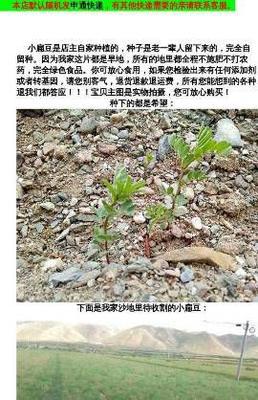 甘肃省白银市景泰县小扁豆 2cm以上 10cm以下