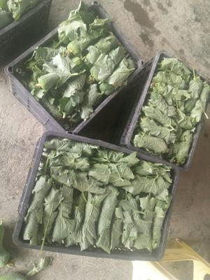 贵州省遵义市道真仡佬族苗族自治县中绿丝瓜 20cm以上