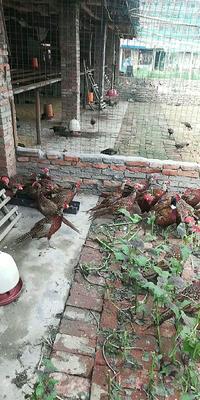 湖北省襄阳市枣阳市野山鸡 2-3斤