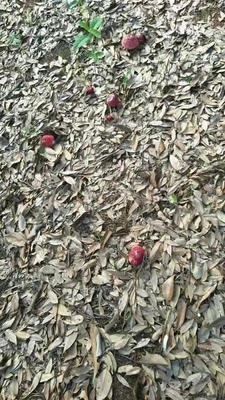 湖北省宜昌市夷陵区大红菌 1.0% 一级
