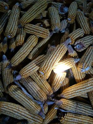 河南省开封市通许县先玉335玉米粒 霉变≤1% 杂质很少