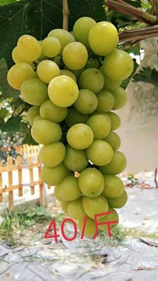 贵州省黔东南苗族侗族自治州黄平县阳光玫瑰 5%以下 1次果 1.5- 2斤
