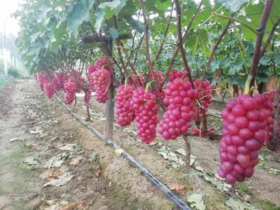 河南省平顶山市鲁山县巨峰葡萄 5%以下 1次果 1.5- 2斤