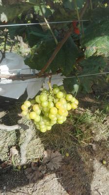 江西省赣州市上犹县阳光玫瑰 5%以下 1次果 1.5- 2斤