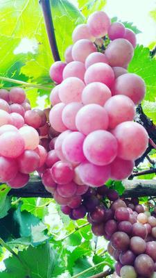 河南省洛阳市偃师市巨峰葡萄 5%以下 1次果 0.6-0.8斤