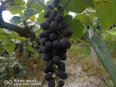 湖南省怀化市靖州苗族侗族自治县高山葡萄 5%以下 1次果 0.6-0.8斤
