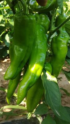 这是一张关于尖椒 20cm以上 靑色 中辣的产品图片