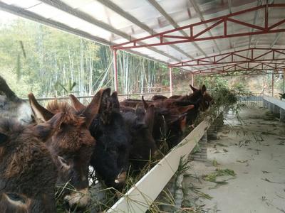 广东省广州市增城区改良肉驴 200-400斤