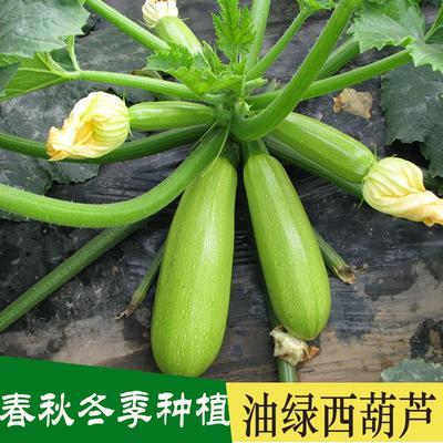 江苏省宿迁市沭阳县西葫芦种子