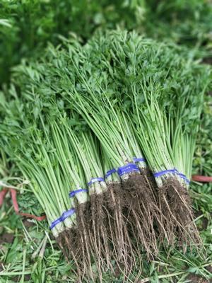山东省淄博市高青县皇冠西芹 60cm以上 露天种植 0.5斤以下