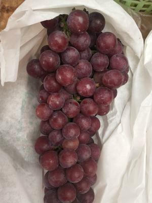 江苏省徐州市铜山区夏黑葡萄 10%以下 1次果 1-1.5斤