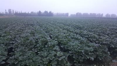 这是一张关于卡里巴黄秋葵种子 原种的产品图片