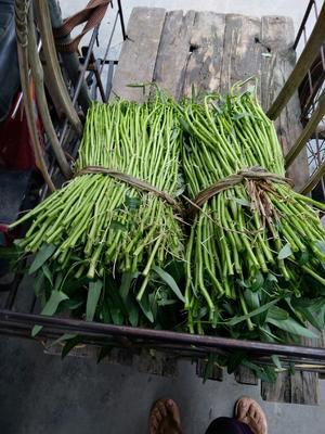 广西壮族自治区玉林市博白县博白空心菜 40 ~ 45cm