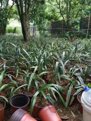 这是一张关于建兰 裸根不带土的产品图片