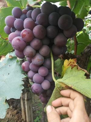 山西省临汾市曲沃县巨峰葡萄 5%以下 1次果 0.8-1斤
