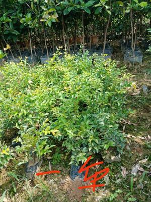 这是一张关于人心果树苗的产品图片