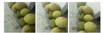 广东省茂名市高州市泰国菠萝蜜 15斤以上