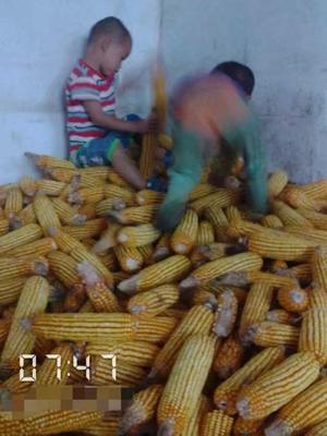 湖南省郴州市临武县杂交玉米粒 霉变≤1% 净货