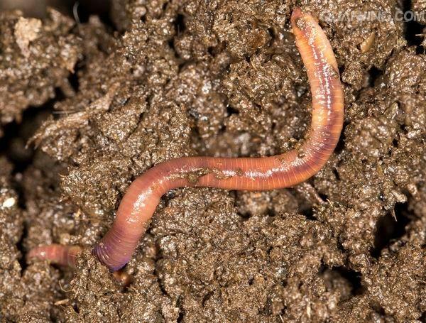 梦到从土里挖出蚯蚓