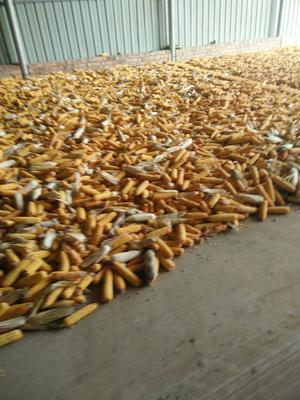 河南省开封市通许县玉米干粮 霉变≤1% 杂质很少