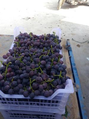 山西省运城市盐湖区巨峰葡萄 5%以下 1次果 0.8-1斤