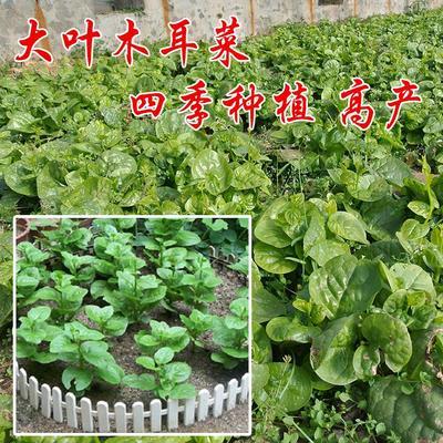 江苏省宿迁市沭阳县木耳菜种子
