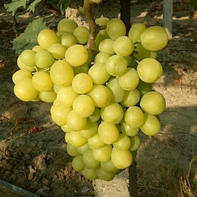 广西壮族自治区桂林市资源县阳光玫瑰 5%以下 1次果 0.8-1斤