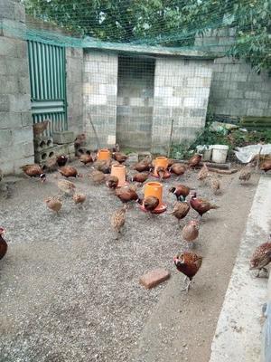 贵州省毕节市纳雍县七彩山鸡 2-3斤