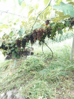 广西壮族自治区河池市宜州市夏黑葡萄 5%以下 1次果 2斤以上