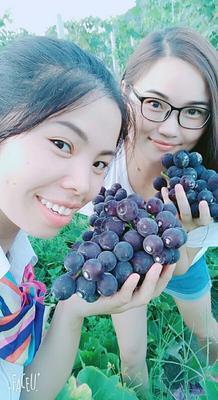 湖南省怀化市靖州苗族侗族自治县巨峰葡萄 5%以下 2次果 0.6-0.8斤