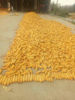 河南省开封市通许县先玉335玉米粒 霉变≤1% 净货