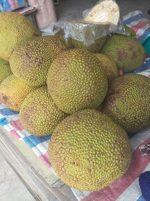 广东省茂名市高州市海南菠萝蜜 10-15斤