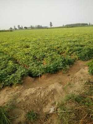 河南省安阳市内黄县白沙系列花生 干货 花生米