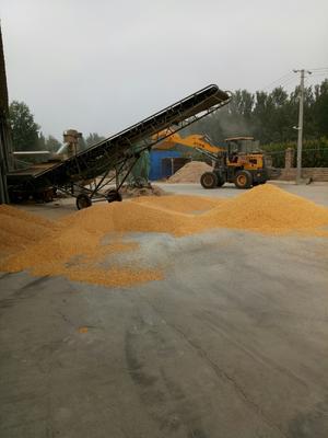 河南省安阳市滑县玉米湿粮 霉变≤2% 净货