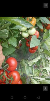 这是一张关于大红西红柿 不打冷 大红 弧二以上的产品图片