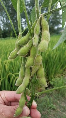 湖北省仙桃市仙桃市绿宝石毛豆 18~24克