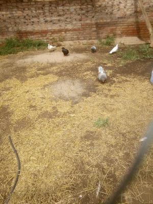 这是一张关于肉鸽 400-500克的产品图片