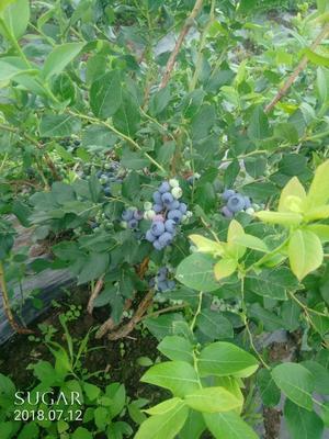 吉林省白山市靖宇县北陆蓝莓 冻果 6 - 8mm以上