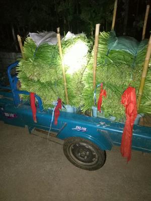 上海浦东新区大叶韭菜 二茬 40~45cm