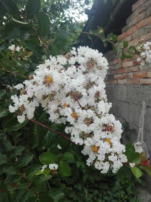 贵州省黔东南苗族侗族自治州麻江县银色紫薇