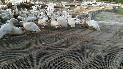 这是一张关于番鸭 公 半圈养半散养 6-7斤的产品图片
