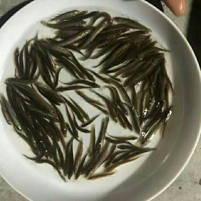 重庆潼南县淡水青鱼 人工养殖 0.05公斤